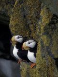 Horned Puffins on Ledge of Lichen  Pribilofs  St Paul Island  Alaska  USA