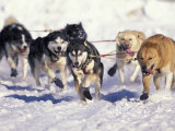 Iditarod Dog Sled Racing through Streets of Anchorage  Alaska  USA