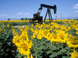 Sunflowers  Oil Derrick  Colorado  USA