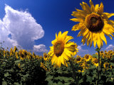 Sunflowers  Colorado  USA