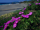 Ice Plant on California Coastline  USA