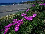 Ice Plant on California Coastline  USA