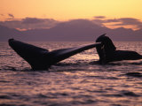 Humpback Whale at Sunset  Inside Passage  Alaska  USA
