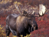 Moose in Autumn Alpine Blueberries  Denali National Park  Alaska  USA