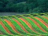 Trellised Vineyard in the Alexander Valley  Mendocino County  California  USA
