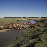 Cattle Herding Argentina