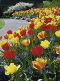 Tulips Buchart Garden Victoria British Columbia  Canada