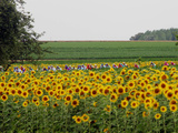 The Pack Rides Past a Sunflower Field During the Sixth Stage of the Tour De France Papier Photo