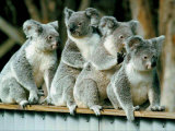 A Group of Koalas Gather Atop a Fence