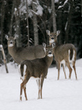 A Small Herd of White-Tailed Deer Wait at the Edge of the Woods