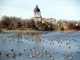 Canada Geese Enjoy a Sunny Day on Capitol Lake in Pierre  SD