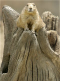 A Black-Tailed Prairie Dog Finds a Nice Perch