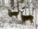 Two White-Tail Deer Stop for a Moment