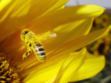 A Bee Covered with Yellow Pollen Approaches the Blossom of a Sunflower July 28  2004 in Walschleben