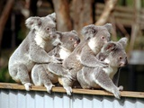 Four Australian Koalas are Shown on a Fence at Dreamworld on Queensland&#39;s Gold Coast