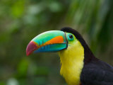 Keel-billed Toucan on Tree Branch  Panama