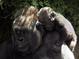 A Baby Gorilla Rests on His Mother Julia&#39;s Shoulder