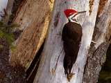 A Male Pileated Woodpecker Looks Around Before Boring into the Trunk of a Dead Pine
