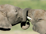 Two Elephant Calves Play  Jan 4  2006 in the Amboseli National Park in Kenya