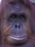 Orangutan Portrait  Borneo  Panama