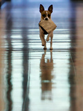Midge Runs Down the Hallway of the Department after Fetching a Bag of Marijuana