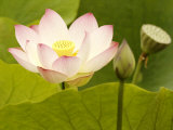 Blooming Water Lotuses Carpet Echo Park Lake