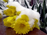 A Light Layer of Snow Forces a Daffodil to the Ground