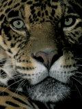 Jaguar  Madre de Dios  Peru