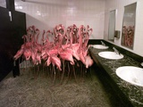 Caribbean Flamingos from Miami&#39;s Metrozoo Crowd into the Men&#39;s Bathroom