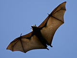 A Flying Fox Soars Above the Trees Papier Photo