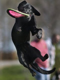 A Small Black Labrador Retriever Leaps for a Soft Frisbee