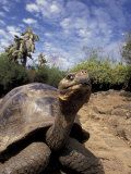 Giant Tortoise on Galapagos Islands  Ecuador