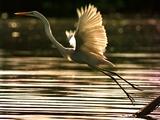 A Heron Takes Flight Over the Guanabara Bay in Rio De Janeiro  Brazil