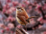 Carolina Wren