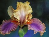 Bearded Iris  Rochester  Michigan  USA