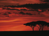Sunset on Acacia Tree  Serengeti  Tanzania