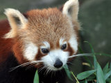 Red Panda  Taronga Zoo  Sydney  Australia