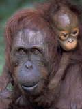 Orangutan Mother with Baby on Her Back  Tanjung National Park  Borneo
