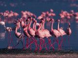 Lesser Flamingo  Kenya
