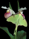 Luna Moths on Showy Lady Slipper  Wilderness State Park  Michigan  USA