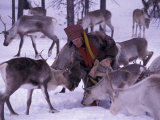 Farmer Feeds Reindeer  Lappland  Finland