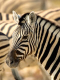 Zebra at Namutoni Resort  Namibia