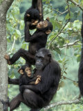 Young Male Chimpanzees Play  Gombe National Park  Tanzania
