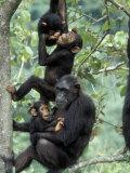 Young Male Chimpanzees Play, Gombe National Park, Tanzania Papier Photo par Kristin Mosher