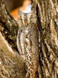 African Scops Owl in Tree  Namibia