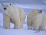 Polar Bear Mother and Cub in Churchill  Manitoba  Canada