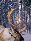 In Santa Claus&#39;s Country the Reindeers Abound  Lapland  Finland