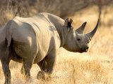 Black Rhinoceros at Halali Resort, Namibia Papier Photo par Joe Restuccia III