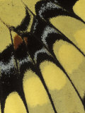 Swallowtail Butterfly Wing Detail  Michigan  USA