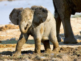 Baby African Elephant in Mud  Namibia
